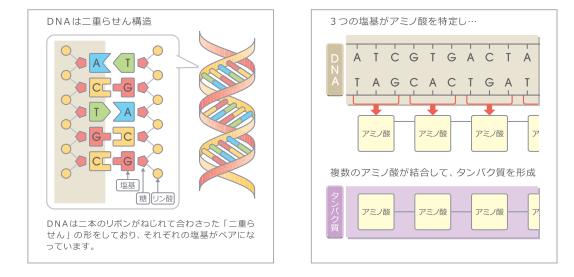 遺伝子がアミノ酸をコードする